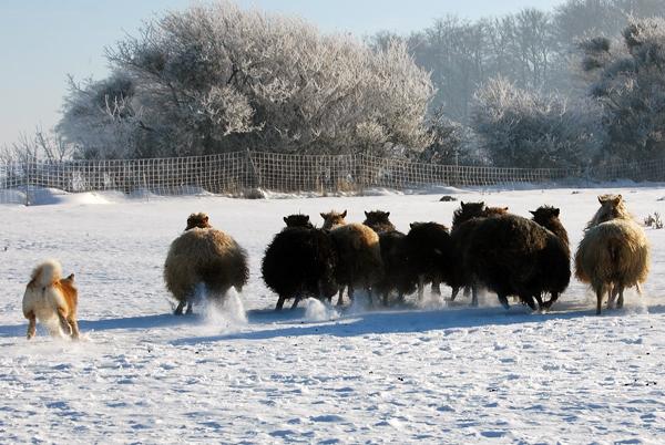 islandsk fårehund vægt