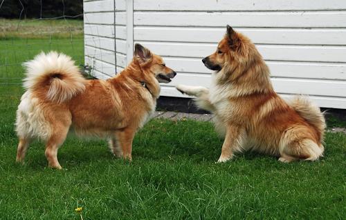 islansk fåre hund